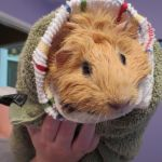 Guinea Pig by BeautifulWonders4U