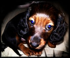 Puppy Dachshund. by VeIra-girl