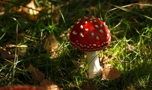 Vibrant Early Amanita Muscaria by Danimatie