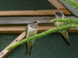 Two little swallows by AbbyssOfSins
