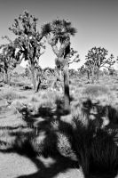 Joshua Tree by FranzSalvatierra