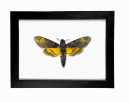 Real Death Head Moth Taxidermy Display by TheButterflyBabe