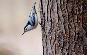 White-breasted Nuthatch by rctfan2
