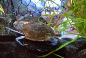 Blue Crab by Jaws1996