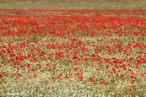 A sea of poppies by Jorapache