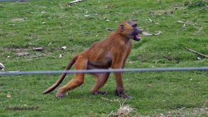 guinea baboon by frogslave69