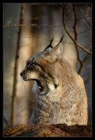 Luchs III by Schoelli