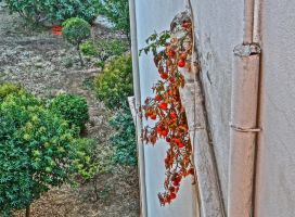 tomato plant by BL00DYSunflowers