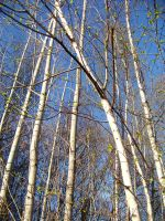 birch trees in the blue sky by xxtasiaxx