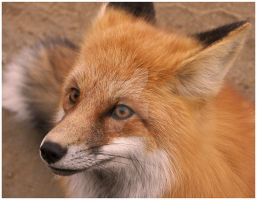 Red Fox Profile by osctar