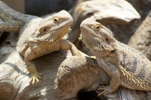 Two Bearded Dragons by Darkneel