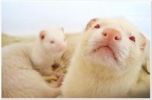 Macro Ferret by Laura-Skeff