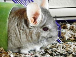 Chinchilla 6 by clovermaidenstock