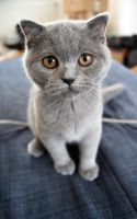 Small Scottish Fold Kitten by Vertor