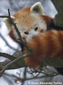 A Red Panda by torreoso