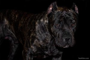 Oris the Dog In Black Setting by OrisTheDog