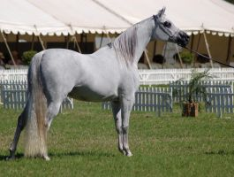 TW Arab White standing side ears pricked by Chunga-Stock