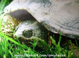 Snapping Turtle by Emyradea