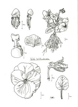 Flower study by ComtePatatas