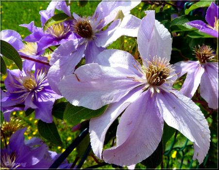 Clematis 2 by Lupsiberg