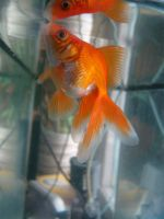 Gold fish 6 by Panopticon-Stock