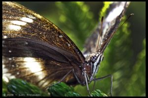Common Eggfly Butterfly 1 by Vamppy