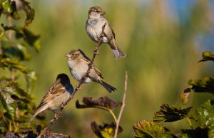 Sparrows by RomanPhotog