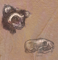 Marbled Polecat study by clotus