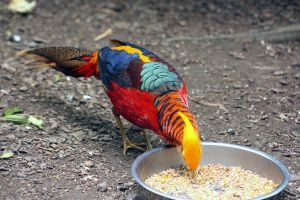 Golden or Chinese Pheasant by printsILike