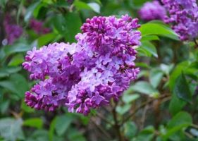 Lilacs by Shelly-J