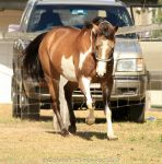 VR Pinto trot front view by Chunga-Stock
