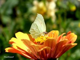 butterfly 442 by Halla51