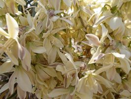Yucca's Full Bloom by ClymberPaddler