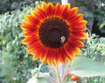 Bee On a Sunflower by justamom