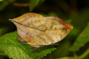 Angled Leafwing by PatGoltz