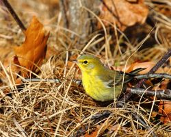December Warbler by natureguy