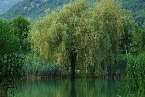 Willow in the Reeds by organicvision