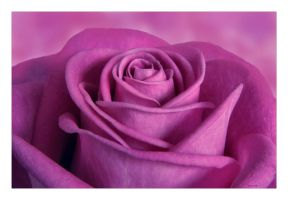Mothers Day Rose 61 by Deb-e-ann