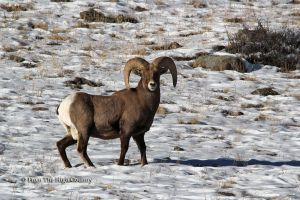 Bighorn Ram by HighCountryImages