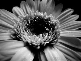 Gerbera in black and white by serel