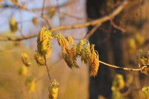Young Oak Leaves by LaurieSalzler