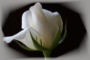 White rose by picture-melanie