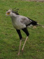 Secretary bird 11 by animalphotos