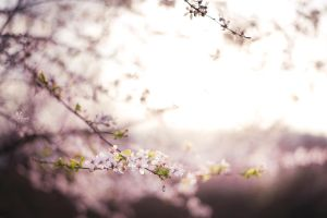 Cherry Blossoms I by MiriamPeuser
