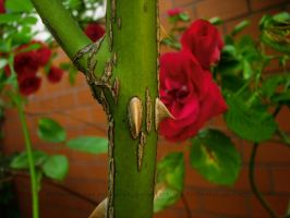 Thorns and roses by KotChatul