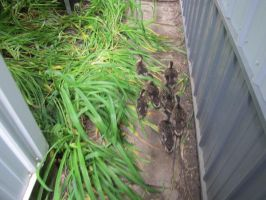Orphaned Ducklings 2 by Windthin