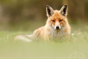 SoftFox by thrumyeye