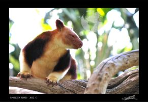 Tree Kangaroo by Sketching-Sketches