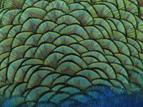 Indian Peafowl 02 Back Texture by animalphotos