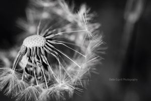 Dandelion seeds by BelleEsprit